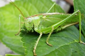 A-cricket-insect-bug-sitting-on-leaf-2256821